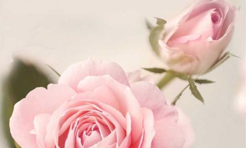 МК-031 Нежно розовая роза
